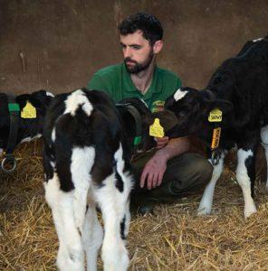 cows cheddar